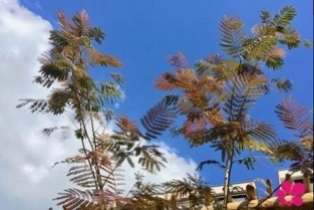 albizia-mediterraans-achtertuin-kleineboom