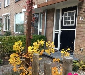 Voortuin-Cotinus-Golden-spirit-fall-herfst-parthenocissus-henryana