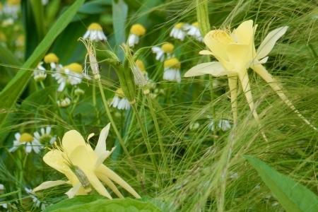 Aquilegia Yellow Kamille