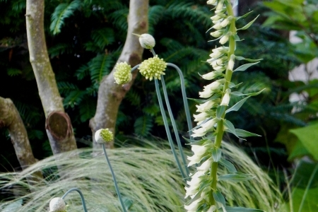 Digitalis lutea Allium obliquum